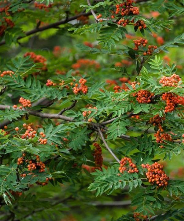 Rowan tree - Google Search