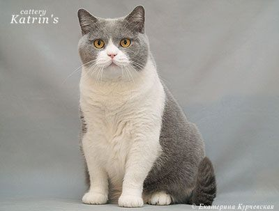 Blue And White British Shorthair About Animals British Shorthair Kittens Cute Animals British Shorthair