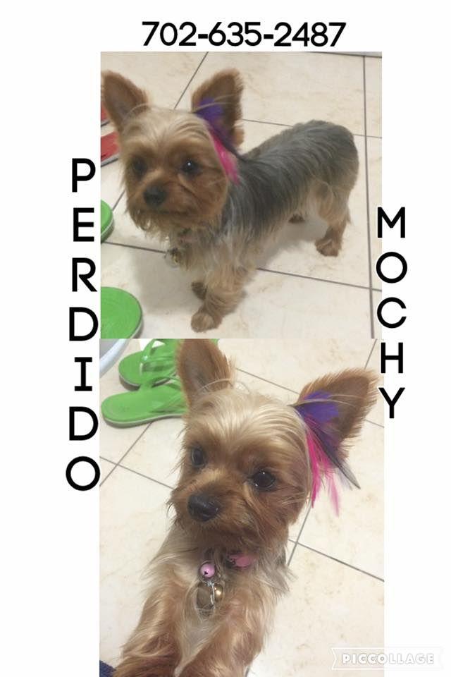 Lost Dog Yorkshire Terrier Yorkie Miami Fl United States