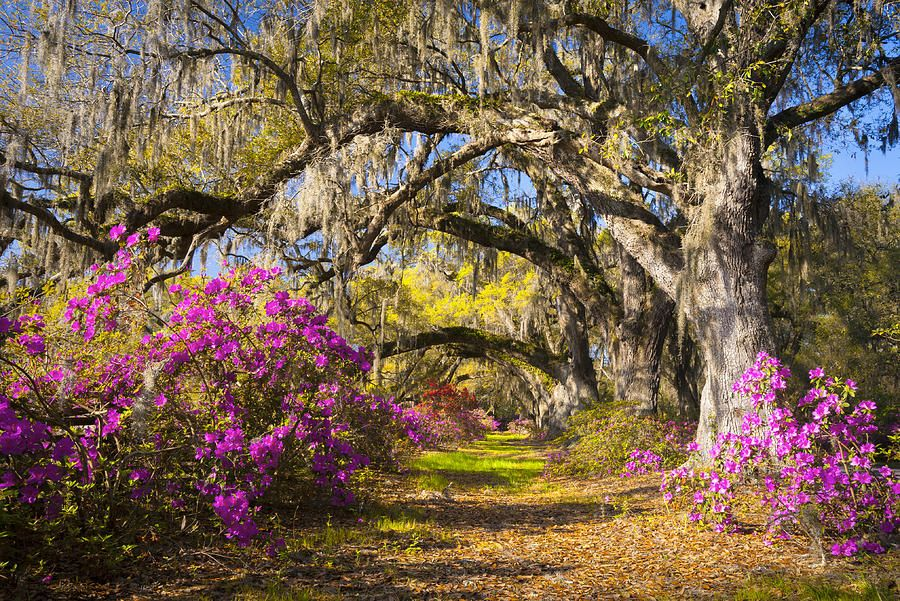 Spring Flowers Charleston Sc Azalea Blooms Deep South Landscape Photography By Dave Allen Spring Landscape Photography Spring Landscape Landscape Photography