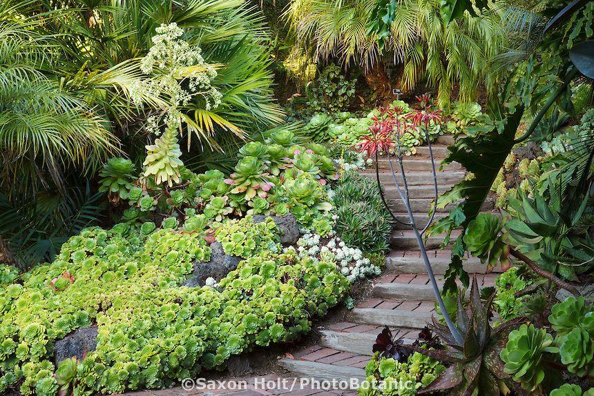 drought tolerant groundcover succulent