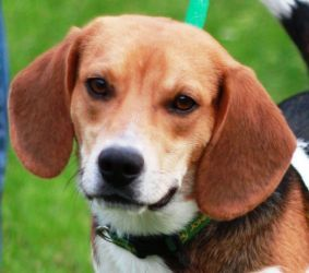 Jack Is An Adoptable Beagle Dog In Panama City Fl You Can Fill
