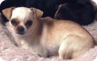 Raleigh Nc Chihuahua Pug Mix Meet Chuckles A Dog For Adoption