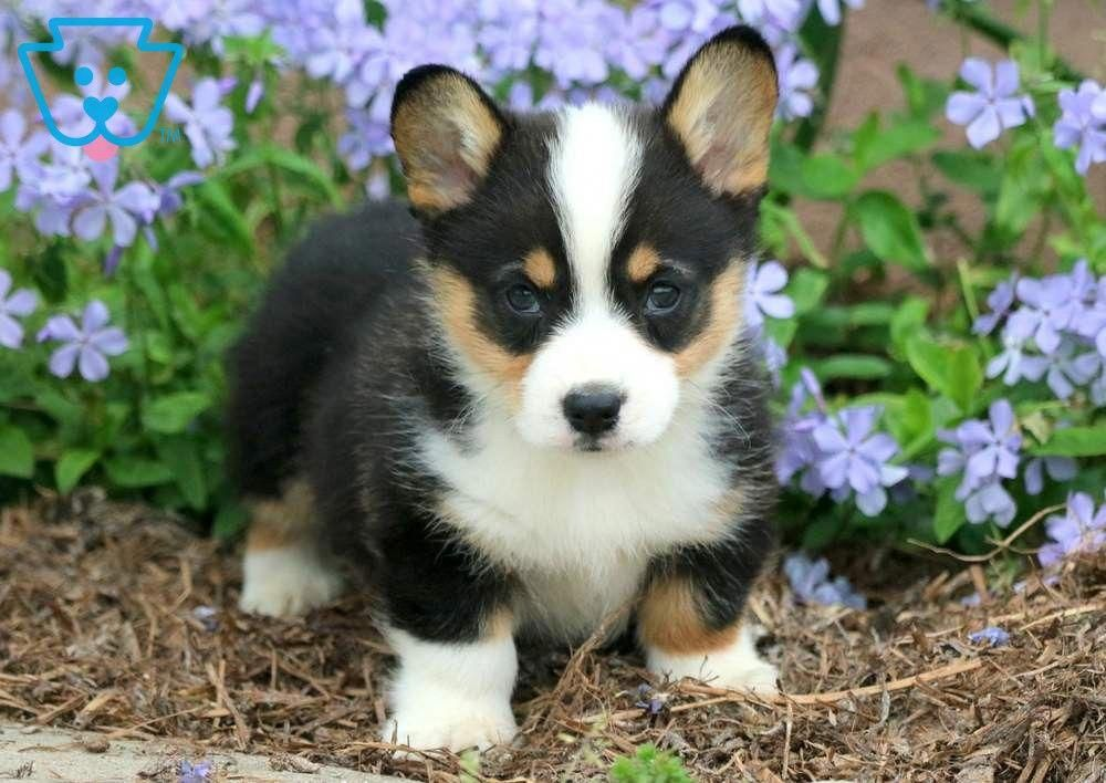Clifford Pembroke Welsh Corgi Puppy For Sale Keystone Puppies