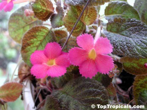 Episcia cupreata, Flame Violet
