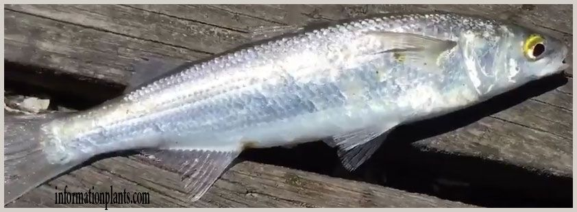 صابوغة مولرية Sprattus Muelleri قسم انواع الاسماك انواع الاسماك انواع الاسماك مع الصور معلوماتية نبات حيوان اسماك فوائد Fish Meat