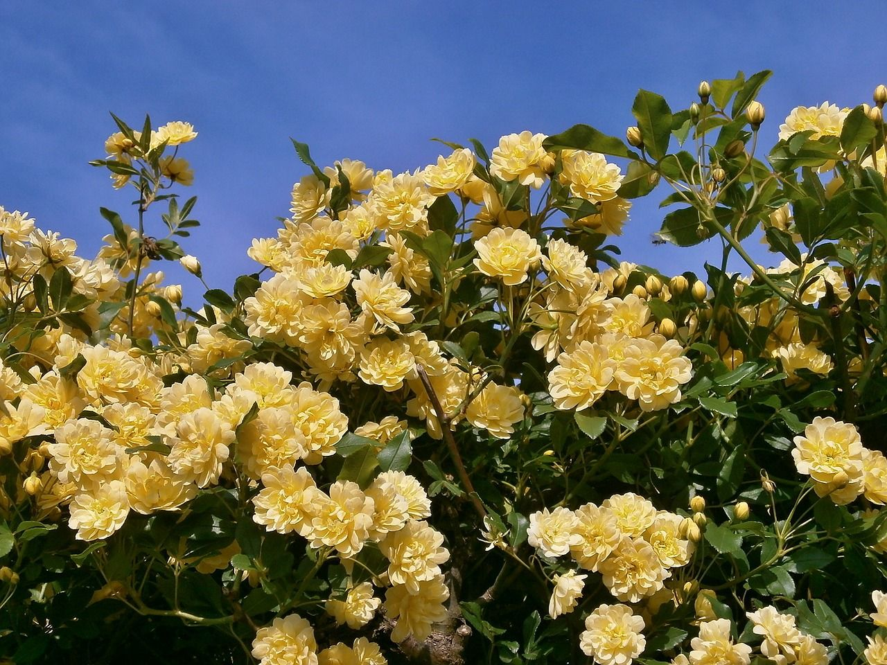 Blue sky and yellow rose bush champion agencies pinterest rose free image on pixabay rose yellow flowers mightylinksfo Images