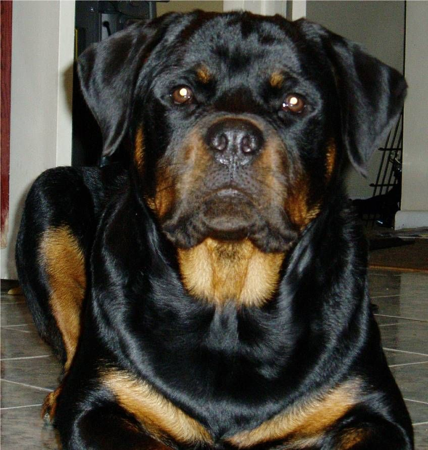 Full Grown Rottweiller Needs You To Speak Intelligent And You Can