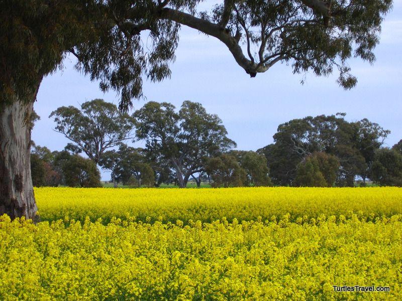 Canola Field,  Australian Outback