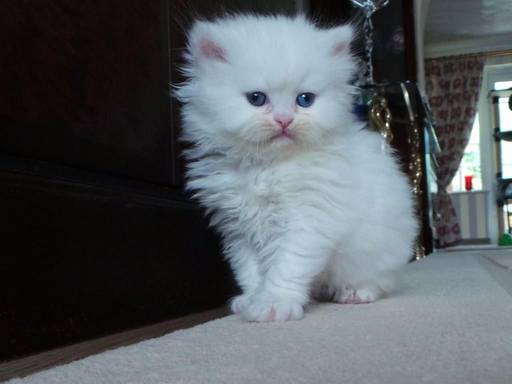 cute white kitten Cute Cats Madelta
