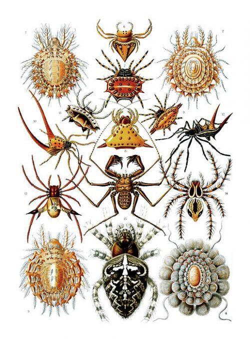 Ernst Haeckel // spiders