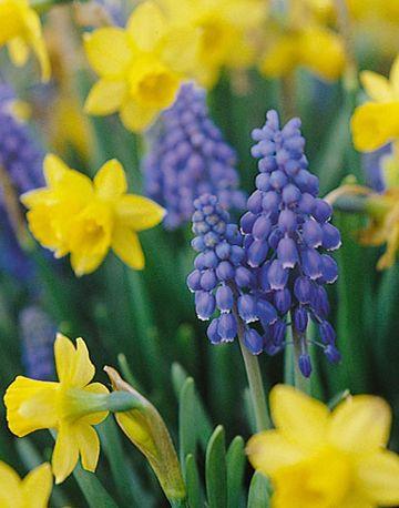 Black Walnut Tolerant Plants Grape Hyacinth Muscari Bulb Canadale Nurseries Ltd