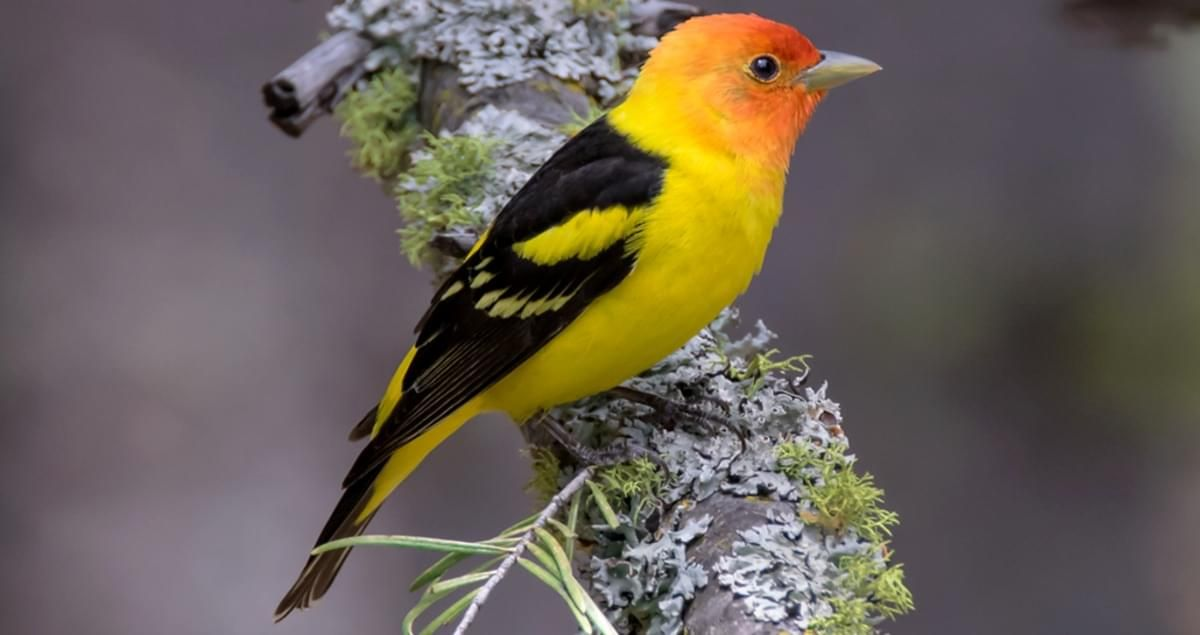 A Clear Look At A Male Western Tanager Is Like Looking At A Flame