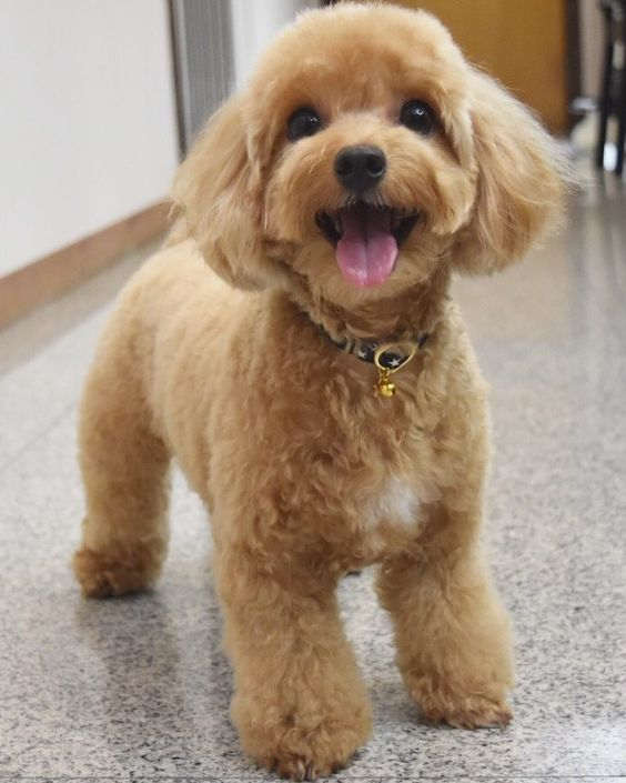 My Happy Friday Face With Images Toy Poodle Haircut Poodle