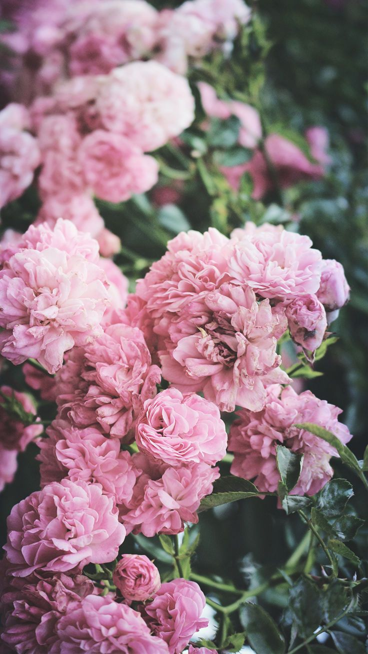 5 Cute Pink Peonies iPhone Wallpapers iPhone wallpapers