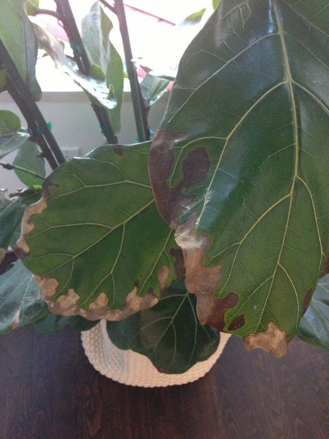 The Very Best Advice On Problems With Ficus Lyrata Fiddle Leaf Fig
