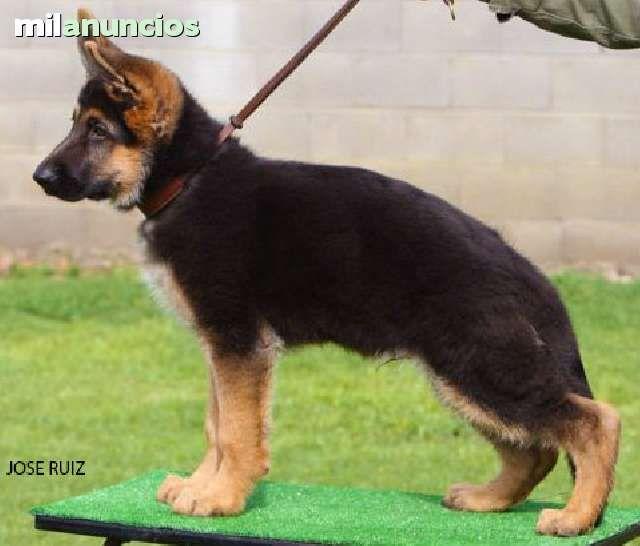 milanuncios sevilla perros