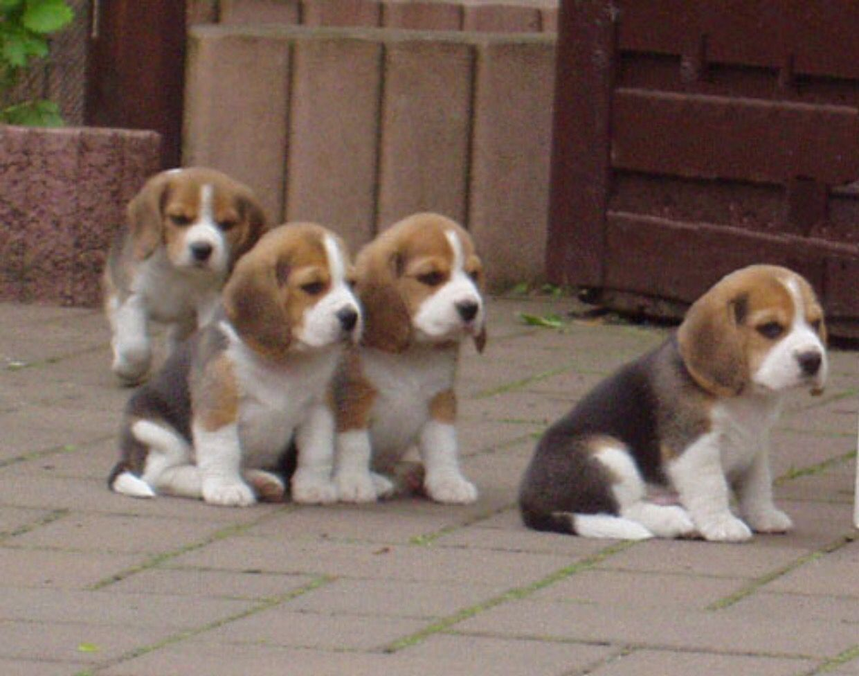 You Guys Stay Behind Me I Ll Handle This Beagle Puppy Baby Beagle Dog Breeds