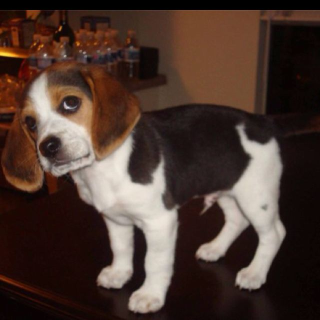 Oh No Did You Say Bath Beagle Beagle Dog Breed Beagle Puppy