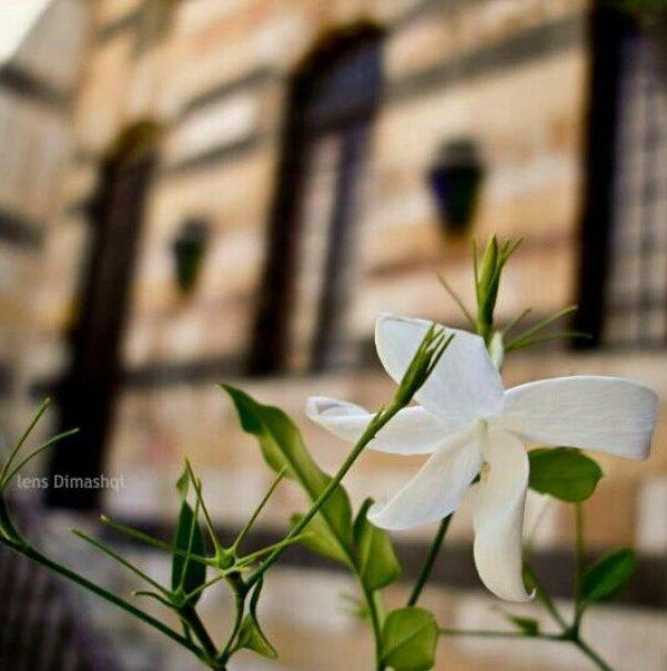 The Damascene Jasmine Plants Jasmine Flowers