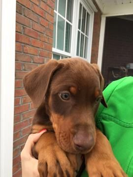 Litter Of 9 Doberman Pinscher Puppies For Sale In Elizabethtown