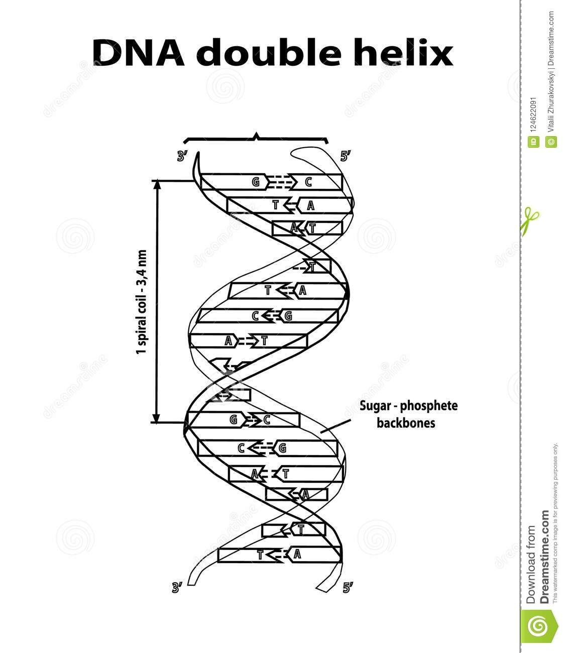 Image Result For Dna Bases