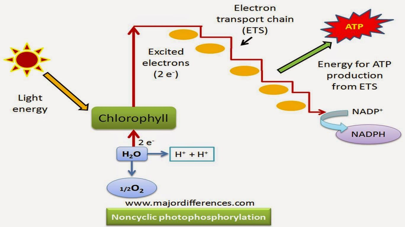 Non Cyclic Photophosphorylation Photosynthesis Photosynthesis Activities Biology Plants