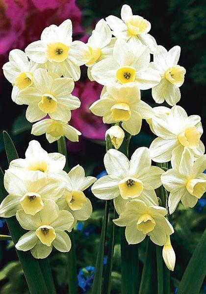 Silver Chimes Bulbs | Daffodils Bulbs Silver Chimes | Buy Daffodils Flower Bulbs Online | Bloms Bulbs UK An Award Winning Supplier
