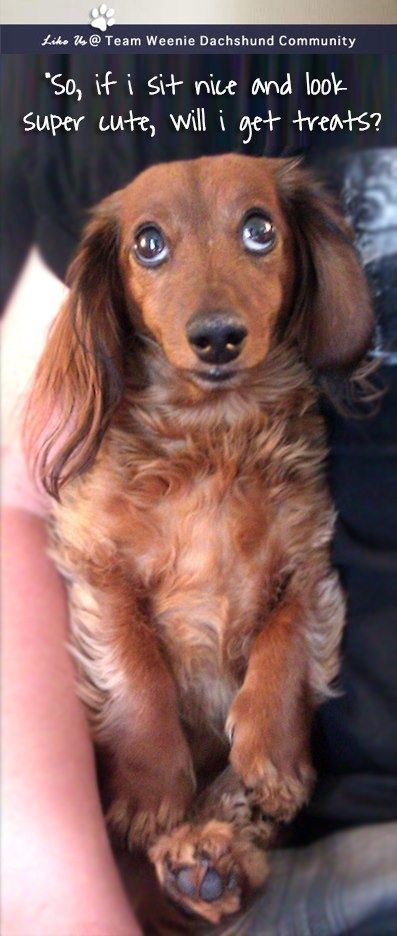 Pin By Val Kent On Dachshunds Perros Perro Salchicha Animales