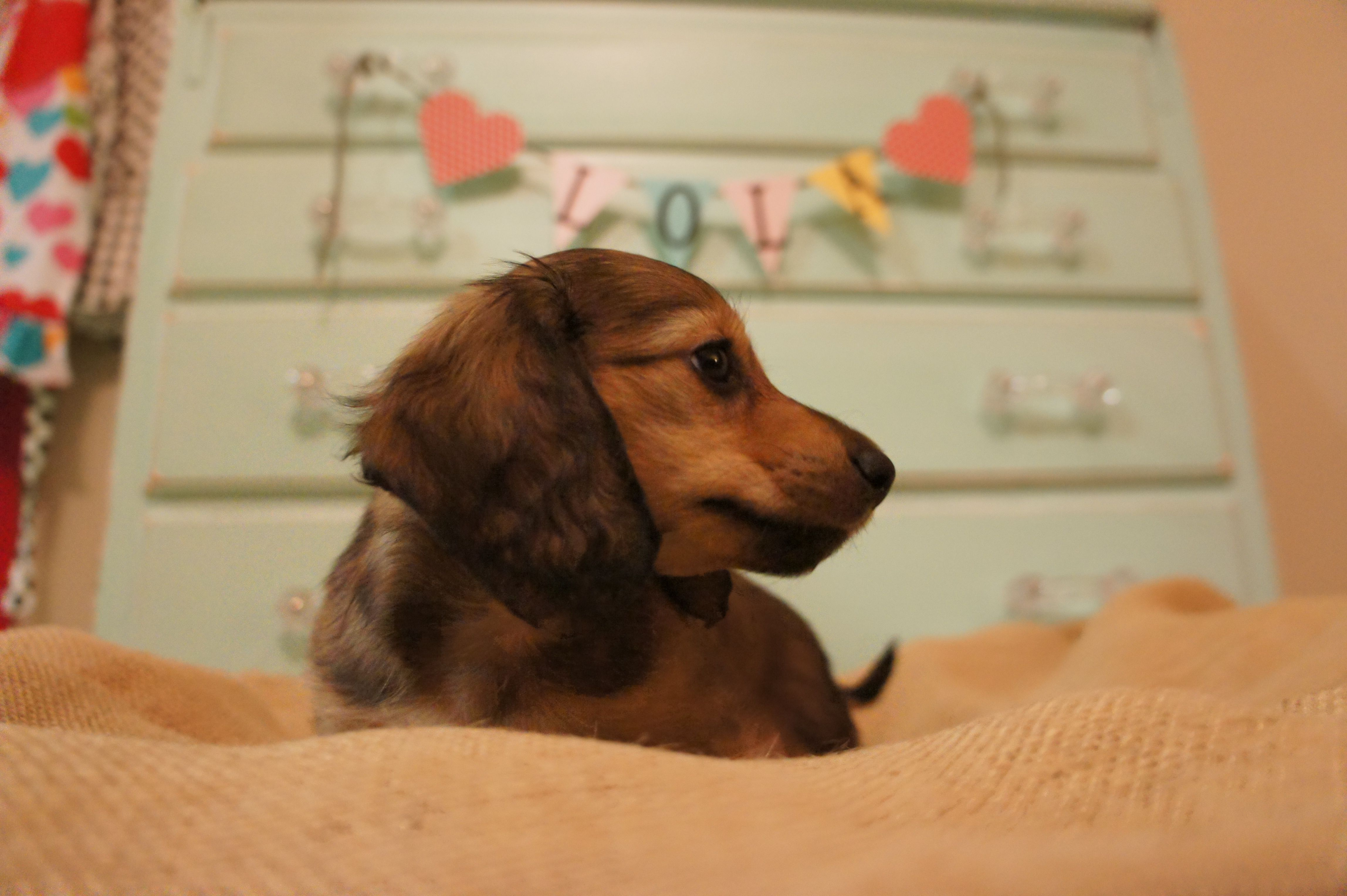 Welcome Home Lola Dachshund Dogs Welcome Home