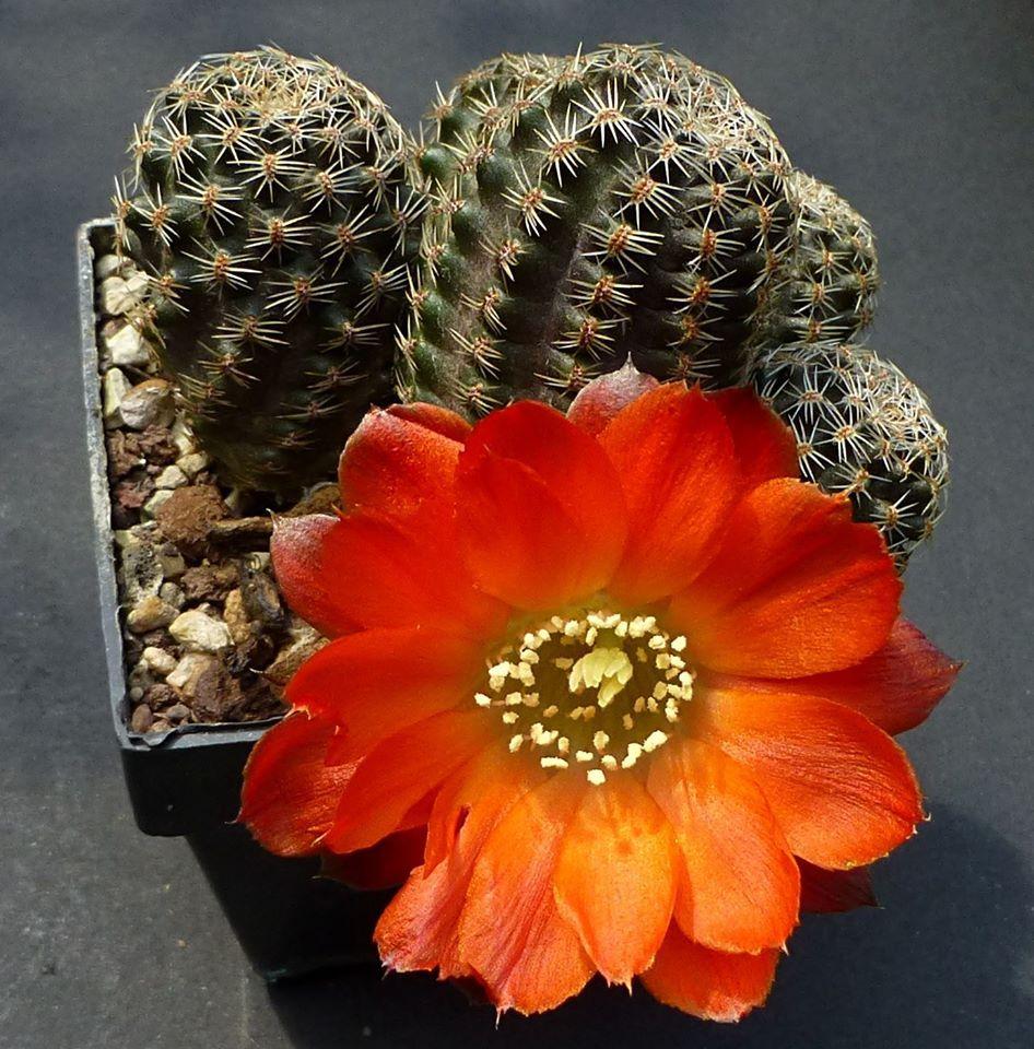 Mes petites plantes grasses et cactées - Page 6 77c25329a6e3398741c39c11585ed27e
