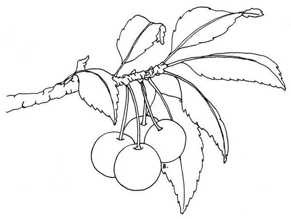 Free Printable 151 This Is The Cherry Branch I Used On The