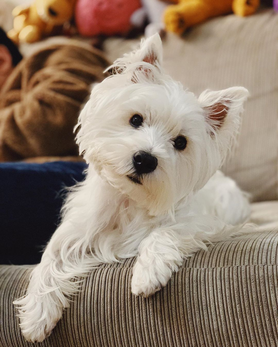 West Highland White Terrier Westie dogs, Terrier dog