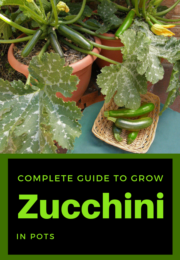 Complete Guide To Grow Zucchini In Pots is part of Zucchini plants, Growing zucchini, Growing vegetables in pots, Container gardening, Growing vegetables, Cucumber plant - I always grow vegetables in pots because I live in an apartment without any place for a small garden  This way I have fresh and organic vegetables for the entire family  Fortunately, zucchini is part of the veggie category that grows slightly in pots and even productive  This vegetable adapts to the environment and can …