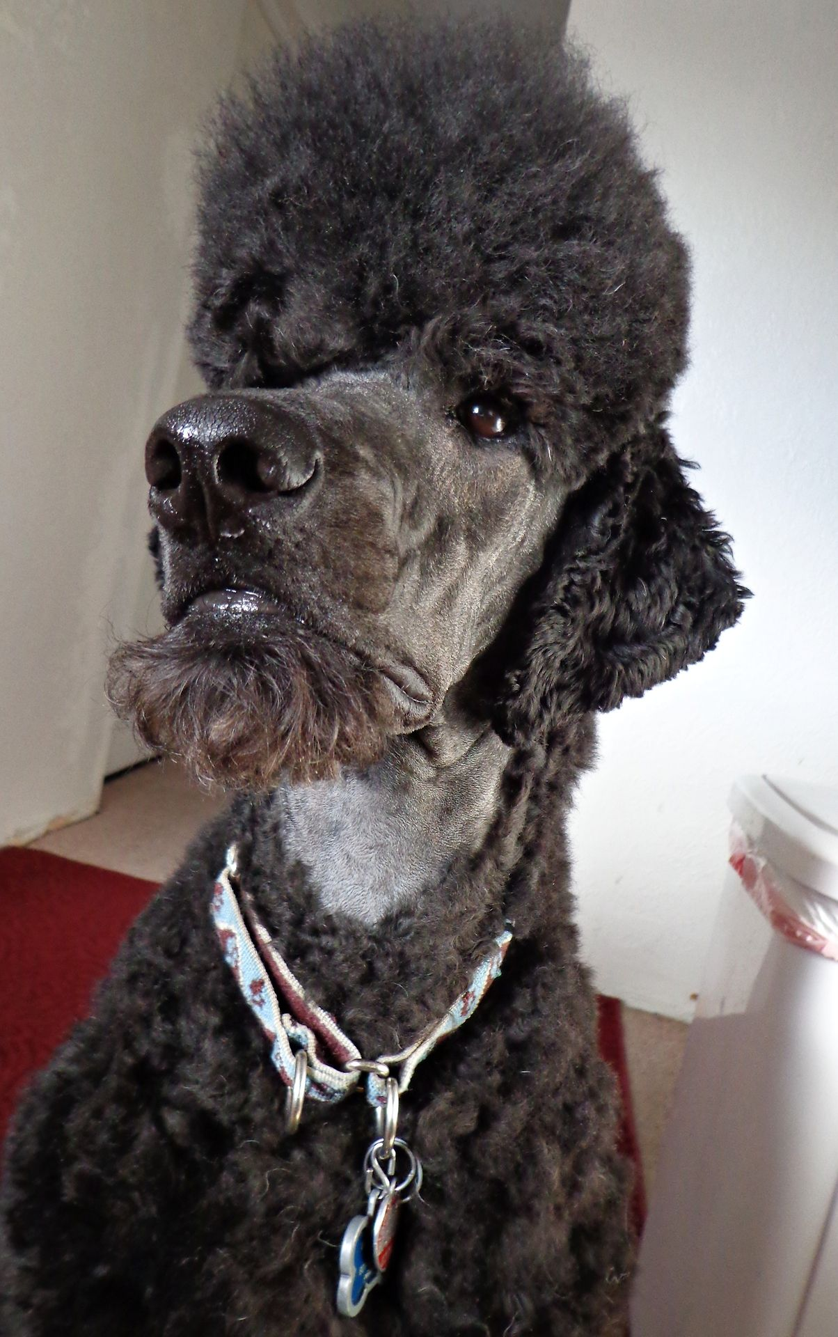 Standard poodle haircuts or of unless soft haircuts standard poodle -  Vegas Showing Off His Beard Poodle Haircutpoodle Cutsdog Nosestandard