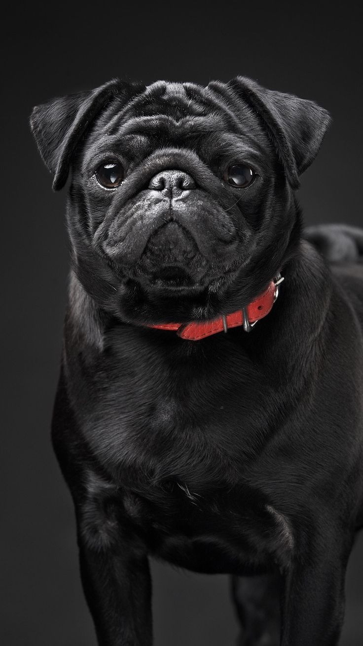 Pug Pictures Baby Pugs Pugs Pug Names