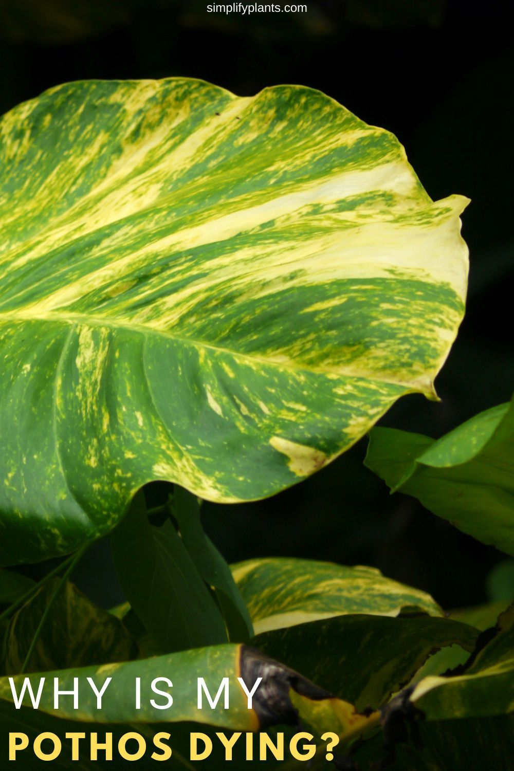 Pothos also known as devil's ivy, is a hardy plant that won't die on you quickly. Though the pothos doesn't require much of your care and can thrive in the most challenging situations, you can never neglect a few signs that the plant gives you. So, let us learn about why your pothos may be dying and what we can do about it.  #pothos #lowmaintenanceplants #beginnerplants #devilsivy #devilsivytips #pothosdying