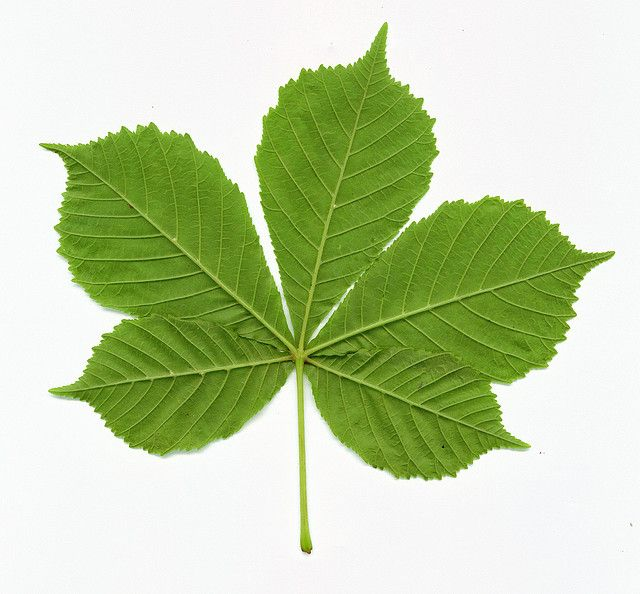 Horse Chestnut Leaf Plants To Know Pinterest Vikings Chestnut