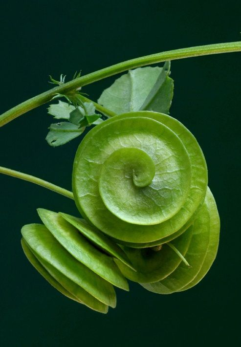 Medicago orbicularis - the Round-fruited medick