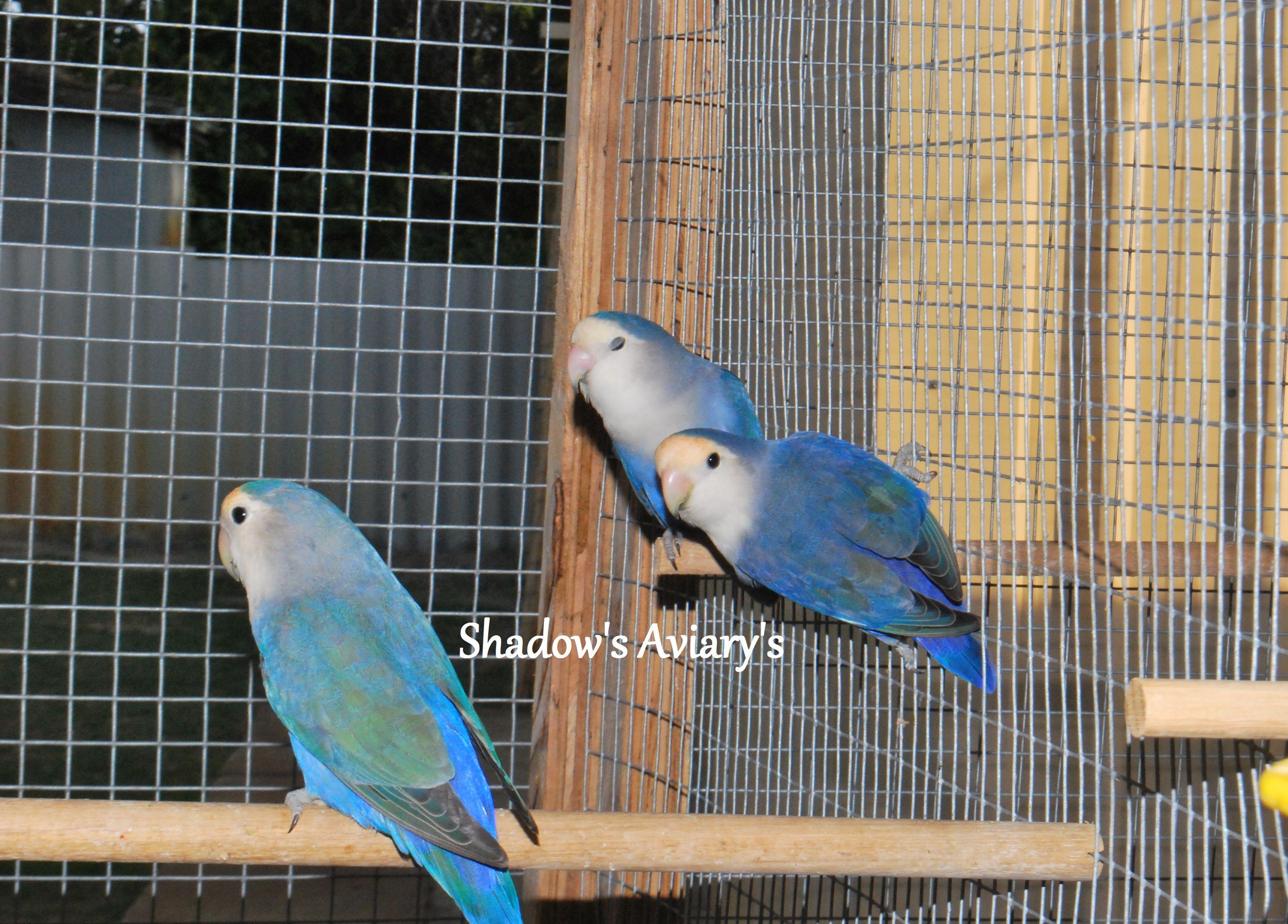 Violet Peachface Lovebirds Love Birds African Lovebirds Birds