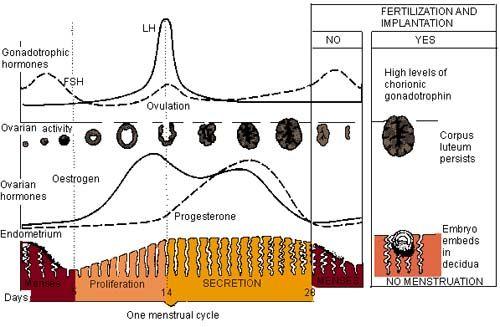 Menstrual cycle diagram sciencerocks pinterest menstrual cycle menstrual cycle diagram ccuart Gallery