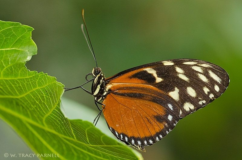 Tiger Longwing by W. Tracy Parnell on 500px