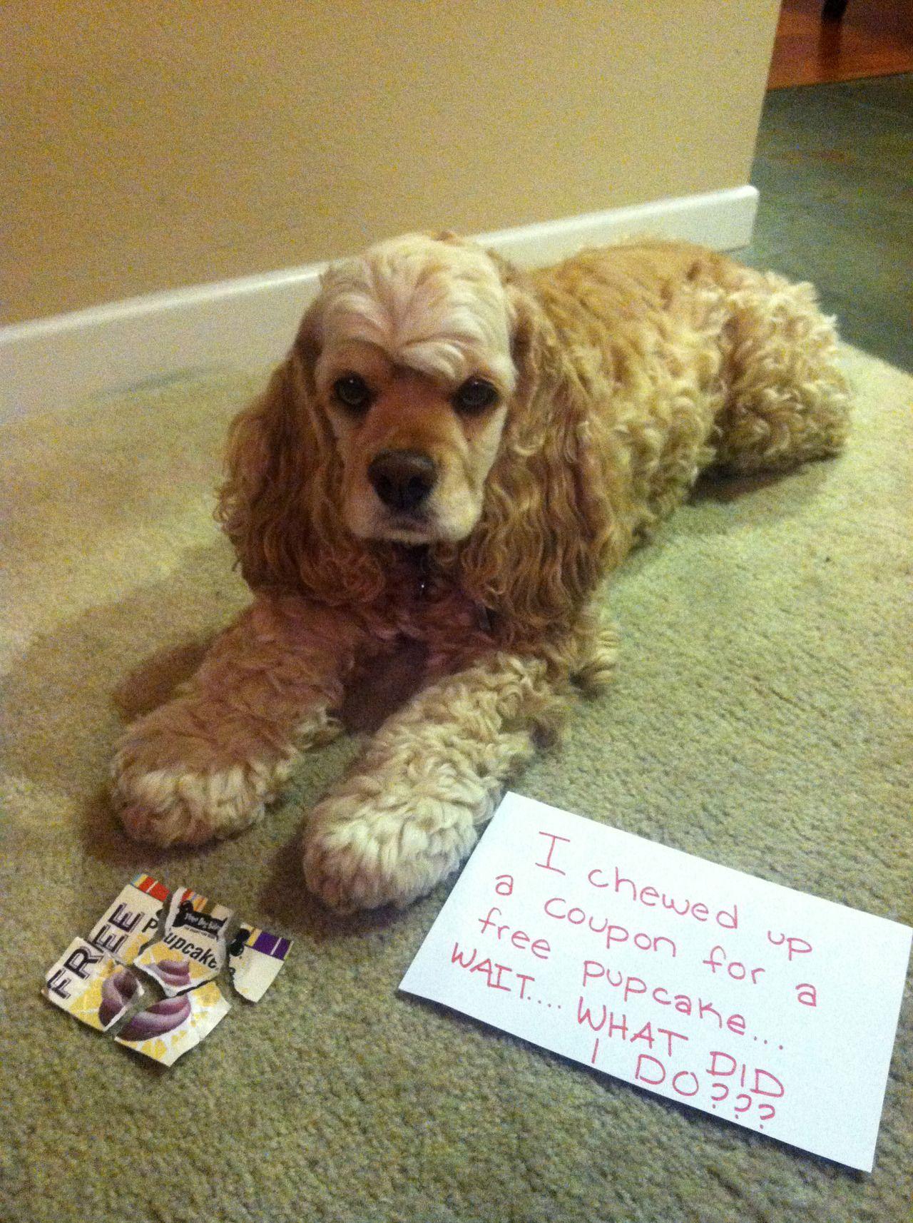 Dog Shame Awe Looks Just Like My Maxie Dog Shaming Funny Dog Shaming Cocker Spaniel Dog