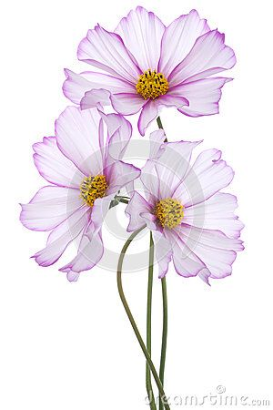 Image From Http Thumbs Dreamstime Com X Cosmos Flower Studio Shot Pink Colored Flowers Isolated White Background La Flower Drawing Flower Painting Flower Art