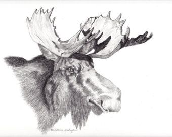 Drawings Of Moose | Majestic Bull Moose Head Drawing S Howing The Injuries Done To His ...