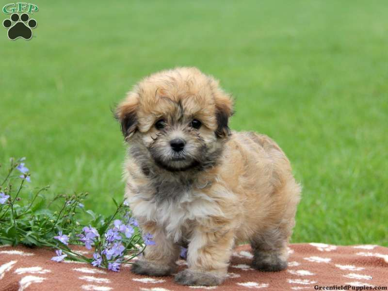 Sybil Havapoo Puppy For Sale In Paradise Pa Havapoo Puppies