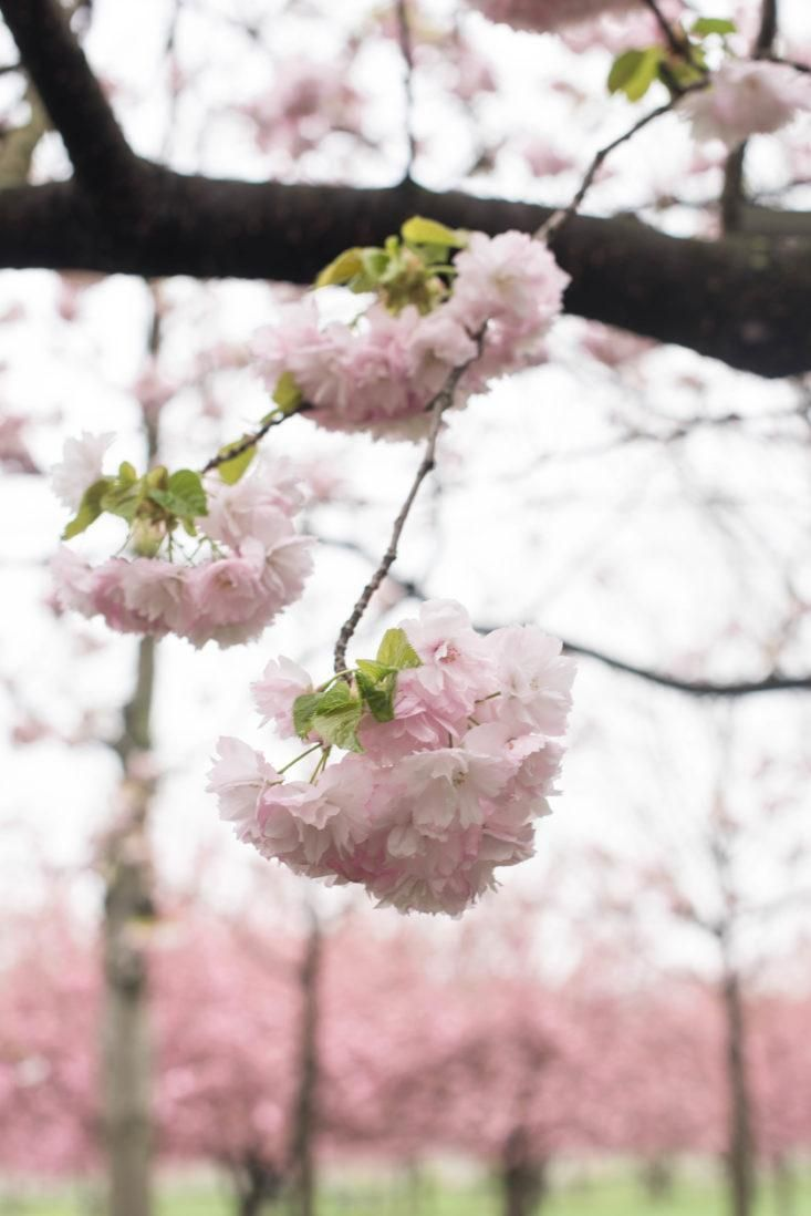 Cherry Blossoms 6 Flowering Trees To Grow At Home Gardenista Flowering Trees Blossom White Cherry Blossom