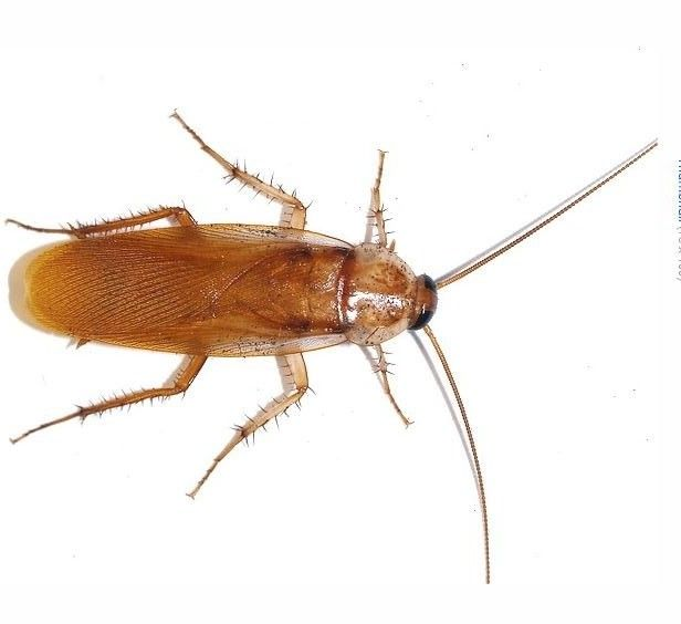 Many roaches enter homes and buildings from outside, through sewer ...