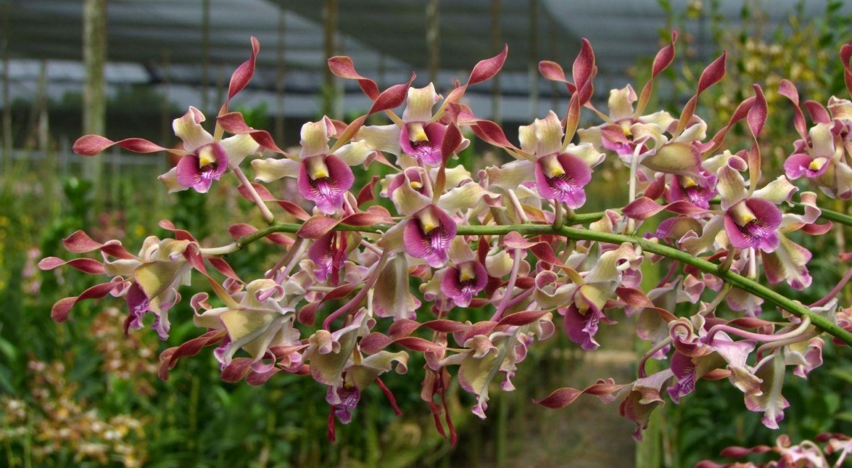 Dendrobium Pfizer Singapore Orchids Plants Planting Flowers