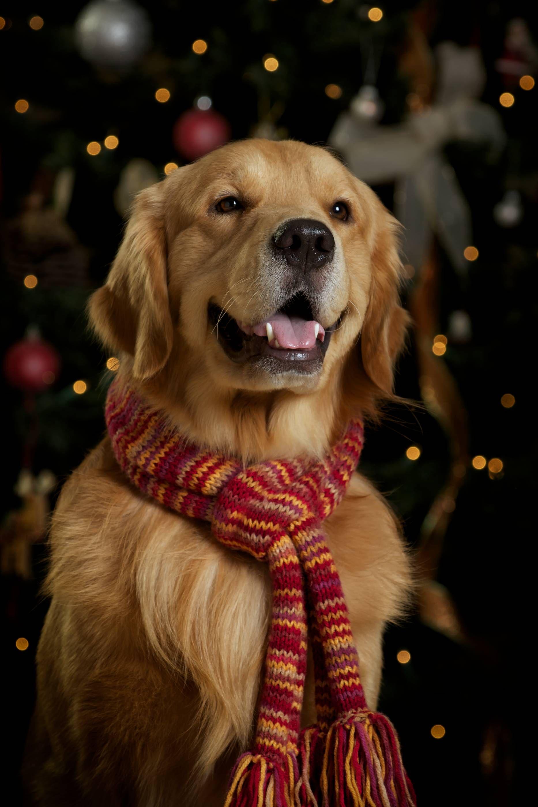Merry Golden golden retriever christmas scarf